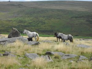 Don't let the cute ponies fool you! Dartmoor is still a wilderness.